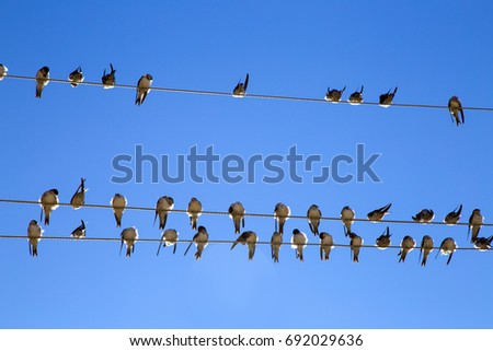 Swallow swarm sitting on a wire with clear blue sky in the background. Multitude of common martin birds