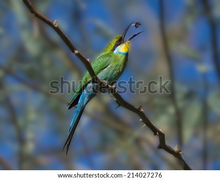 Swallow-tailed Bee-eater - stock photo