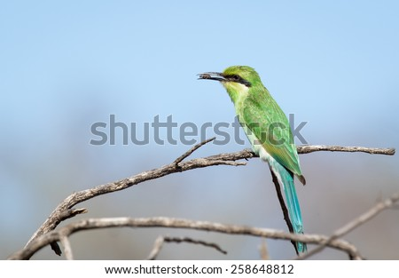 Swallow Tailed Bee-Eater - stock photo