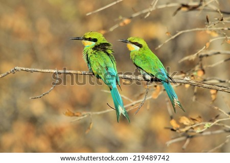 Swallow tailed Bee-Eater - African Wild Bird Background - Gorgeous Green and Colorful Nature - stock photo