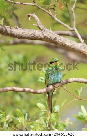 Swallow-tailed Bee Eater - African Wild Bird Background - Green Nature and Adorable Life - stock photo