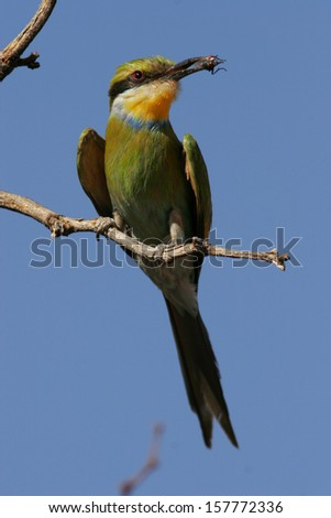 Swallow-tailed bee-eater with prey - stock photo
