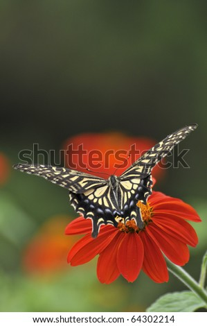 Swallowtail butterfly - stock photo