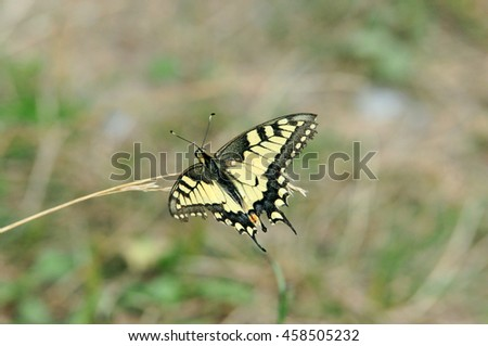 Swallowtail butterfly, Old World swallowtail. Butterfly collecting nectar from the flower meadow. - stock photo