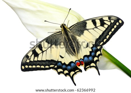 Swallowtail butterfly on a flower Spathiphyllum on a white background, isolated.