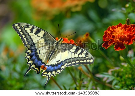 Swallowtail butterfly on the marygold flower - stock photo