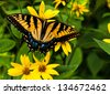 Swallowtail butterfly on yellow flowers in Shenandoah National Park, Virginia - stock photo