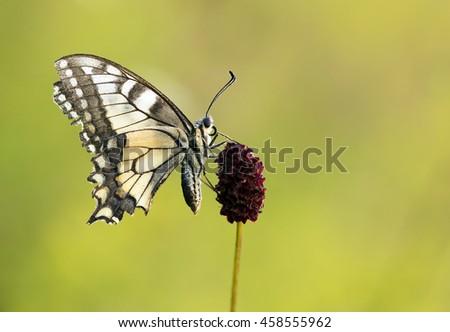 Swallowtail butterfly sitting on a purple flower - stock photo