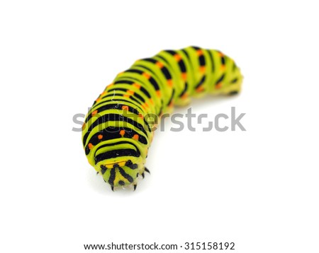 Swallowtail caterpillar or Papilio Machaon on a white background - stock photo
