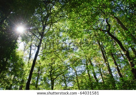swamp cypress forest canopy and sun - stock photo