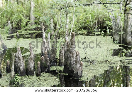 Swamp Cypress Stump (Knee) Close-up. Picture taken at Six Mile Cypress Slough Preserve, Fort Myers - FL, USA. - stock photo