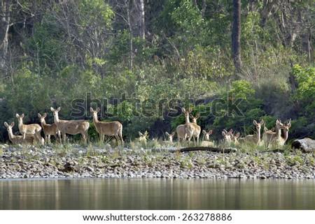 Swamp deer in Bardia, Nepal ; specie cervus duvaucelii - stock photo