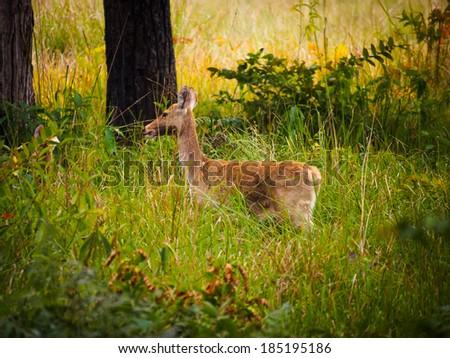 Swamp deer or barasingha (Rucervus duvaucelii) in Bardia National Park, Nepal - stock photo