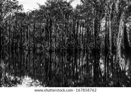 Swamp water and trees covered in moss with reflections in the water. - stock photo