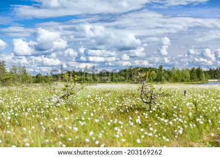 Swampland with white blooming cotton grass and blue sky, Karelia - stock photo