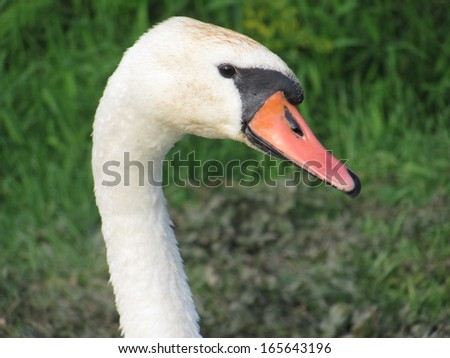 Swan against a background of green grass