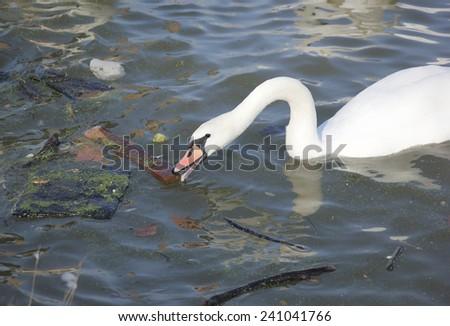 Swan and a dirty river Danube, Belgrade, Serbia. - stock photo