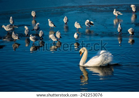 Swan And Seagulls On Frozen Lake - stock photo