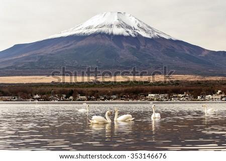 Swan at Lake Yamanaka, one of fuji five lake - stock photo