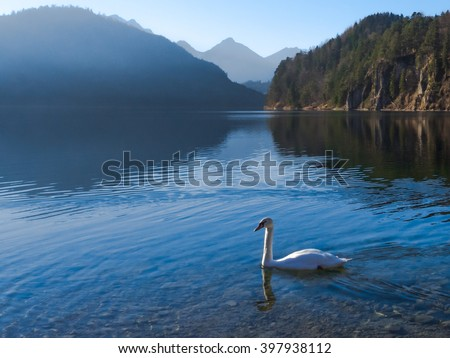 Swan at the lake