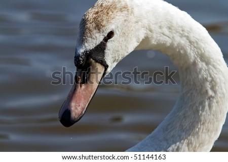 swan close up - stock photo