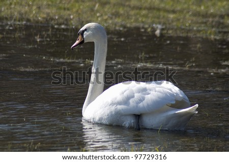 Swan - Cygnus olor - stock photo