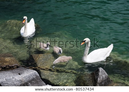 Swan family on Lugano lake, Switzerland - stock photo