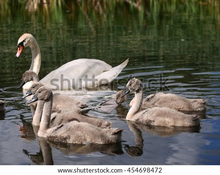 swan family on water - stock photo