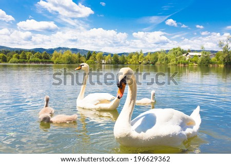 Swan family swimming in Koseze Pond or Martinek Pond or Lake Koseze is an artificial pond at the edge of Ljubljana, the capital of Slovenia. - stock photo