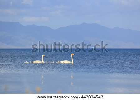 swan family swimming on the lake