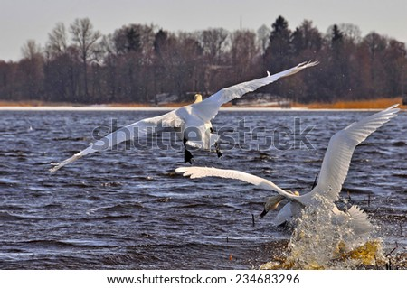 swan flies on the water - stock photo