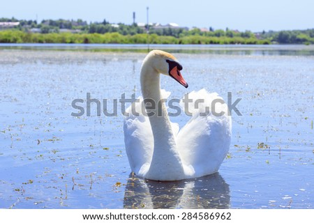 Swan floating in the river. Ukraine. - stock photo