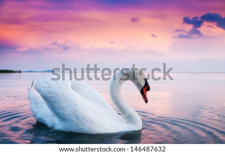 Swan floating on the water at sunset - stock photo