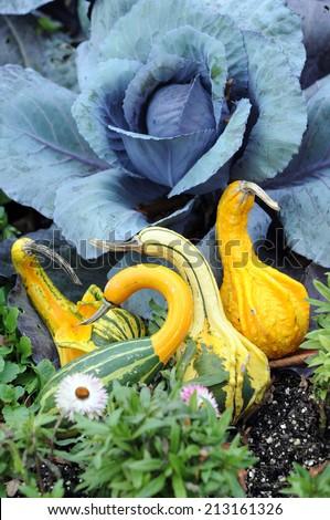swan gourd squash for Autumn harvest decoration in the garden - stock photo