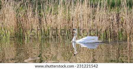 Swan graciously glides through the rippled waters of a lake - stock photo