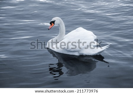 Swan in calm water - stock photo