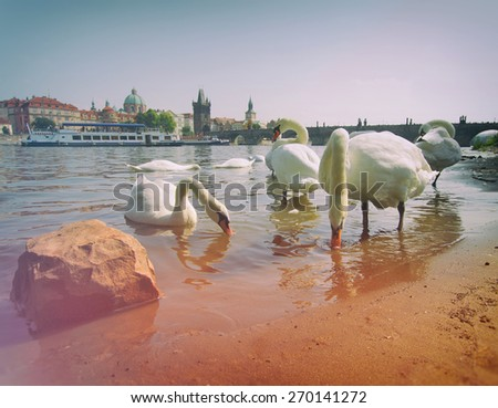 Swan in Prague. birds swimming in the river near the Charles Bridge. Photo instagram style. vintage retro. - stock photo