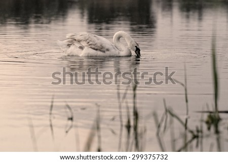 Swan in the beautiful sunset over the lake - yellow tone - stock photo