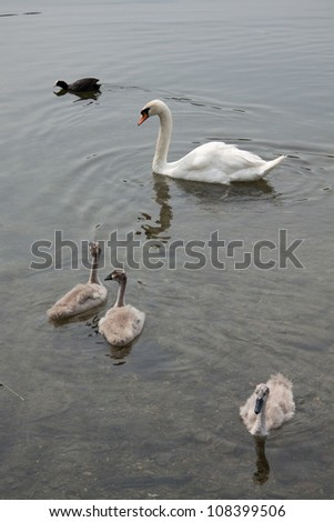 Swan mother with cubs, and a black coot - stock photo