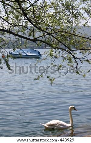 Swan on a lake - stock photo