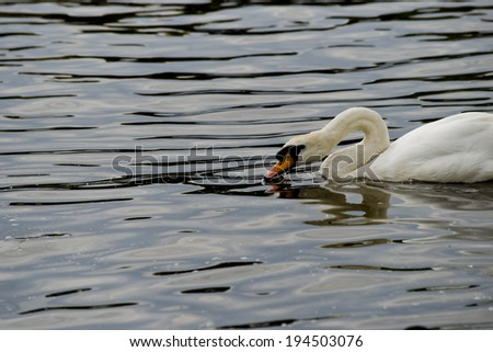 Swan on a River - stock photo
