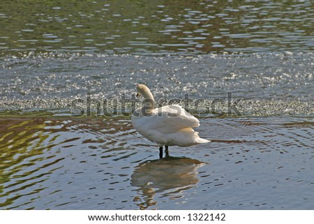 Swan on River Dee in Chester - stock photo