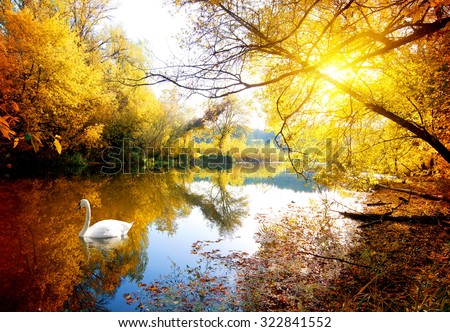 Swan on the river in autumn forest - stock photo