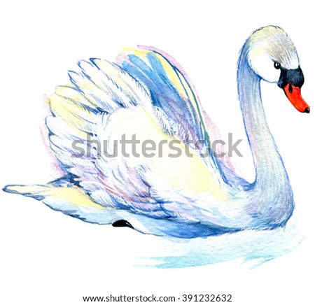 Swan. Swan Watercolor drawing.