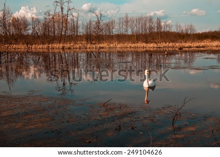Swan swimming in lake  - stock photo
