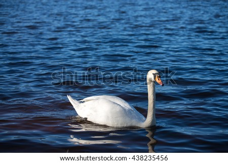 Swan swimming on the water in nature