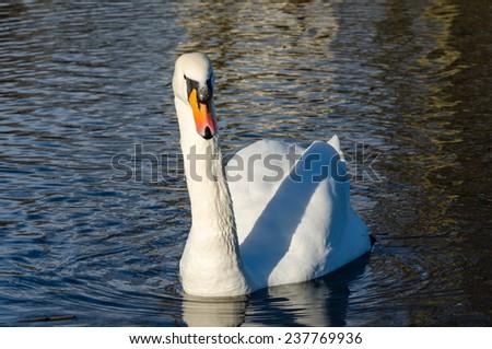 Swan swimming towards the camera - stock photo