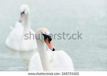Swan swimming with ducks swimming on lake - stock photo