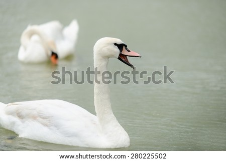 Swan swimming with ducks swimming on lake