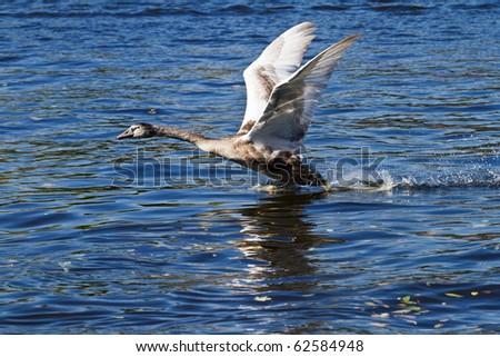 Swan taking off - stock photo